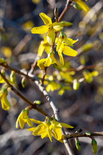 Forsythia blooms signal the start of weed season.