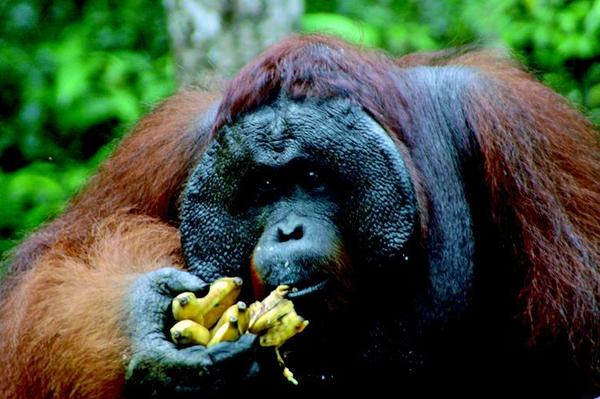 Borneo is known for its diversity of wildlife, including orangutans, and visitors to the island will find plenty of variety on an April 8-21 tour.