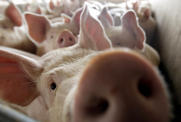Antibiotic sales to livestock operations rose in 2011.