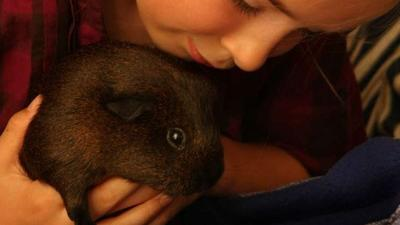 Teacher's pet? Guinea pigs may help autistic kids in classroom