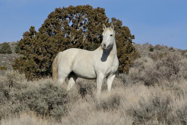 Federal officials trapped a small band of wild horses near a Carson City subdivision where residents had virtually adopted the animals.