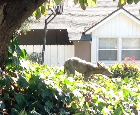A coyote, apparently sick and limping, was spotted by residents in a hillside community on Wednesday and Thursday.