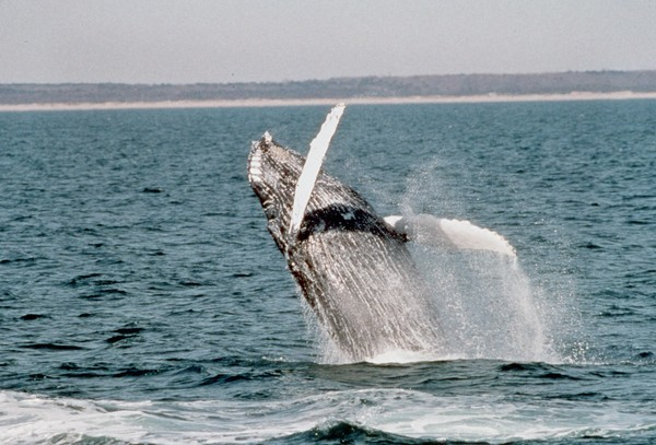Virginia beaches - Whale-watching