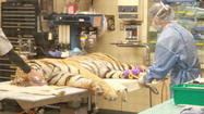Months after being artificially inseminated, one of two Amur Tigers at the Sedgwick County Zoo gives birth. Unfortunately, the cub only lived a day and a half.
