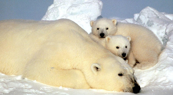A polar bear rests with her cubs on the pack ice in the Beaufort Sea in northern Alaska.