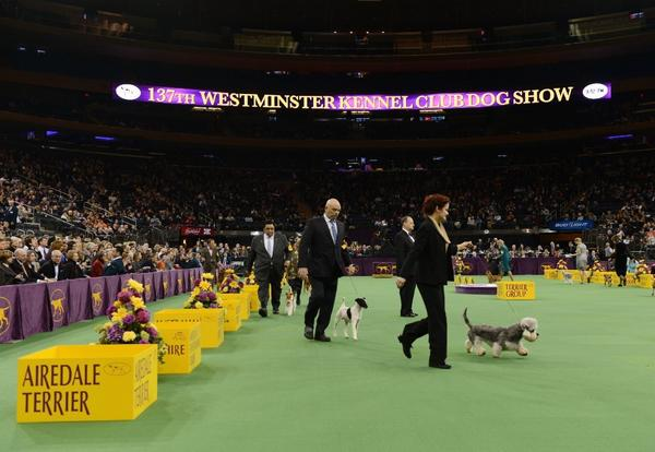 Dogs compete at this year's Westminster Kennel Club Show.