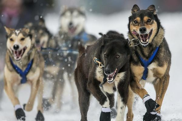 The dogs of musher Jessica Hendricks charge out of the start gate at the ceremonial start to the Iditarod dog sled race in downtown Anchorage, Alaska.