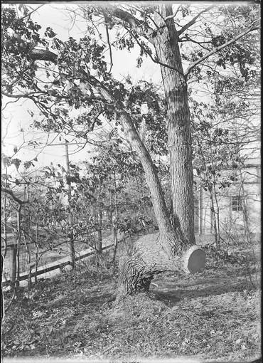 """Indian Trail Tree"" southwest of Ravinia Toboggan, Jan. 1, 1912. Photographed by Jesse Lowe Smith."
