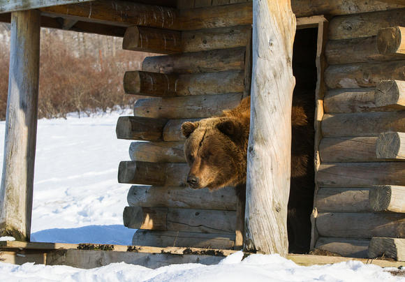 Brown Bears Awake from Hibernation at AWCC