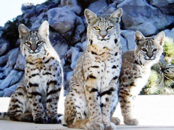 A bobcat mother and her two cubs appeared in Annica Kreuters backyard in Joshua Tree.