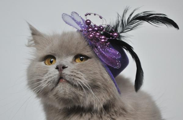 Wearing a hat a Highland Straight cat looks on during a cat exhibition in the Kyrgyzstan's capital Bishkek on February 16, 2013.