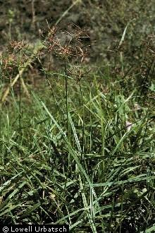 Purple nutsedge, <i>Cyperus rotundus</i>, commonly called nutgrass.
