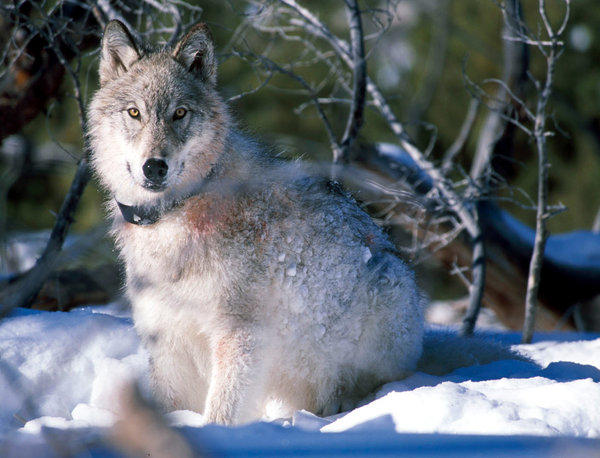 A radio-collared wolf at Yellowstone National Park.