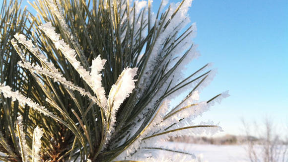Razor-thin ice crystals formed on the needles of this pine sapling on South Townline Road Monday morning when temperatures dipped to minus-5 near Gaylord Regional Airport