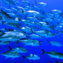 School of giant trevally fish
