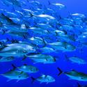 School of giant trevally fish