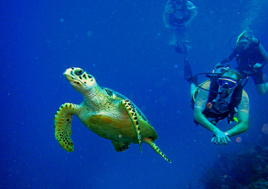 Divers check out a hawksbill turtle off of Turks and Caicos.