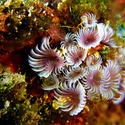 Feather duster tube worm