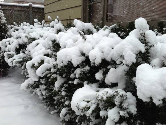 Fight the Temptation to Remove Snow from Trees and Shrubs