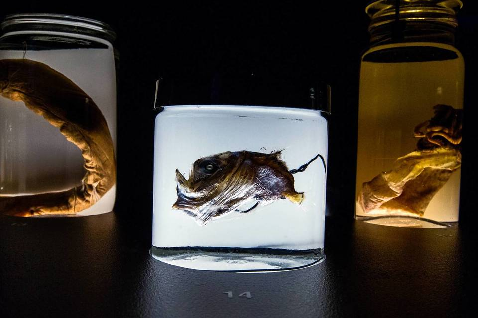 """Threadfin Dragonfish, Highlight Hachetfish and Boreal Peacock Glass Squid are on display of The Field Museum exhibit """"Creatures of Light: Nature's Bioluminescence"""""""