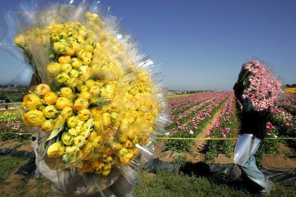 In a previous year, workers carry bundles of Giant Tecolote Ranunculus from the Flower Fields to be shipped nationwide as cut flowers.