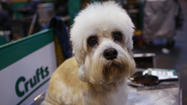 2013 Crufts Dog Show in Birmingham, England