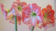 Amaryllis can bloom again in time for spring
