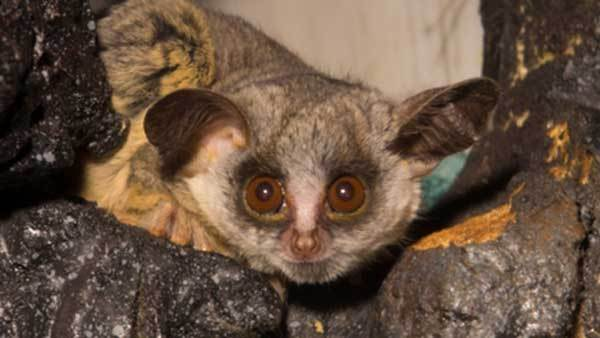 A Moholi bushbaby recently born at Lincoln Park Zoo.