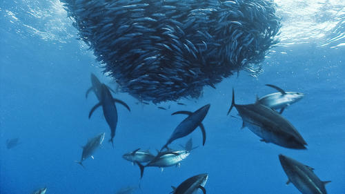 Any group of fish that stay together for social reasons are shoaling, and if the group is swimming in the same direction in a coordinated manner, they are schooling.