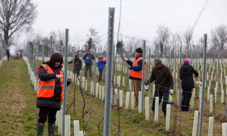 Volunteers prune grapevines at the Forty Hall community vineyard in London.