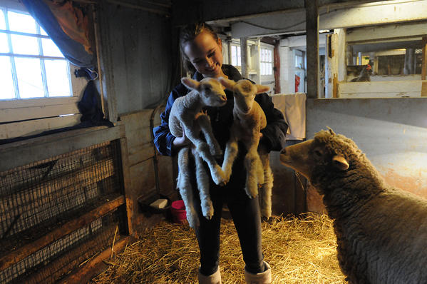 Ross Beed, 17 of Simsbury holds her lambs Tenley, left, and Katie who were born Wednesday at 5 a.m. at Westmoor Park in West Hartford. Their mother, Daphne,  looks on at right. Ross, a long time member of the 4-H Club at Westmoor, won Daphne in an essay contest. Daphne has always lived at the park and the lambs will grow up there too. Ross is a senior at the Ethel Walker School.
