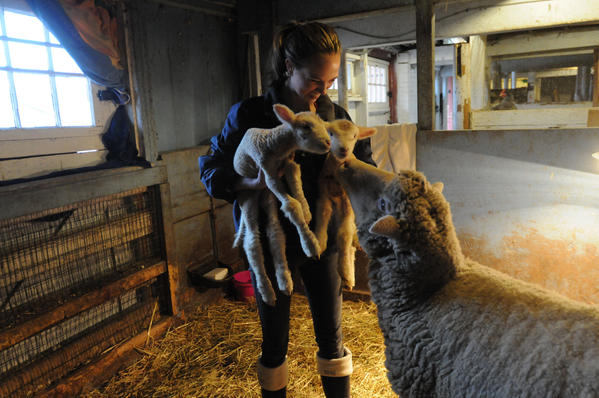 Ross Beed, 17 of Simsbury holds her lambs Tenley, left, and Katie who were born Wednesday at 5 a.m. at Westmoor Park in West Hartford. Their mother, Daphne,  looks on at right.