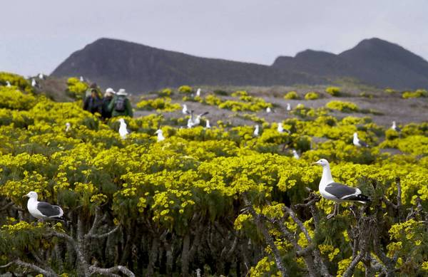 Western gulls are plentiful on Anacapa Island. A helicopter showered the island with poisonous green pellets in 2001 and 2002 to kill off rats, which were preying on several species.