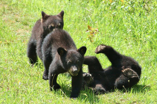 Three baby bears play along the Toonerville Trolley track in the Upper Peninsula. There, Teresa McGill and husband Michael McGill of Central Lake have a blind and photograph and video bears.