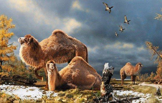 This is an illustration of the High Arctic camel on Ellesmere Island during the Pliocene warm period, about 3 1/2 million years ago. The camels lived in a boreal-type forest. The habitat included larch trees, and the depiction is based on records of plant fossils found at nearby fossil deposits.