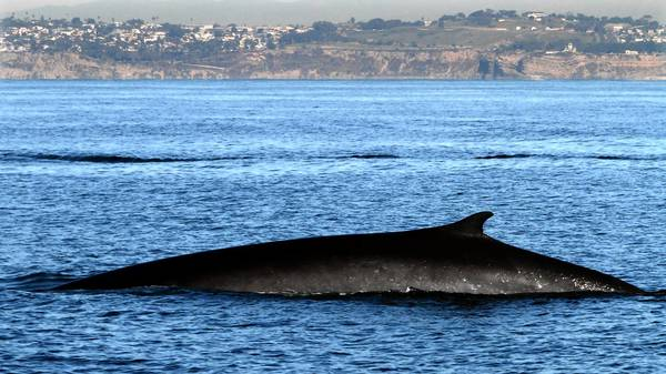 An endangered fin whale surfaces while feeding. The Navy says that training, at most, could kill 130 marine mammals in five years.