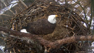 "CLICK HERE TO WATCH: <a href=""http://www.alcoa.com/locations/usa_davenport/en/info_page/eaglecam.asp"" target=""_blank"">http://www.alcoa.com/locations/usa_davenport/en/info_page/eaglecam.asp</a>"