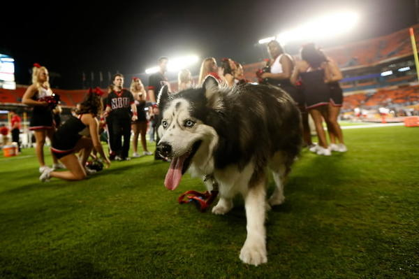 A mascot for the Northern Illinois Huskies is seen on the field against the Florida State Seminoles during the Discover Orange Bowl at Sun Life Stadium on January 1, 2013 in Miami Gardens, Florida. (Photo by Chris Trotman/Getty Images)