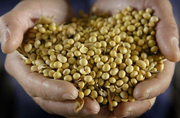 Genetically modified soybeans.