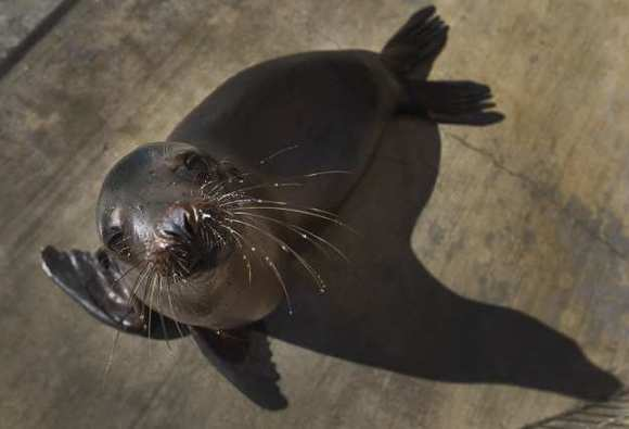 A California sea lion pup recovers poolside after arriving weak, malnourished, dehydrated, and hypothermic at the Pacific Marine Mammal Center in Laguna Beach on Feb. 14.
