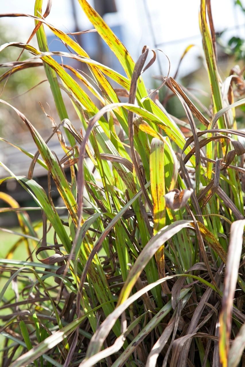 Lemon grass in the community garden la times for Planting lemon seeds for smell