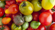 For supermarket shoppers, the tomato symbolises what we have lost in terms of taste and texture, in exchange for being able to buy cheap vegetables and fruit year round. But a fightback for flavour is under way - and its scientific champion is Harry Klee, horticulture professor at the University of Florida, Gainesville.