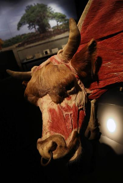 "A bull on display, part of the ""Animal Inside Out"" exhibit making its U.S. premiere at Chicago's Museum of Science and Industry."