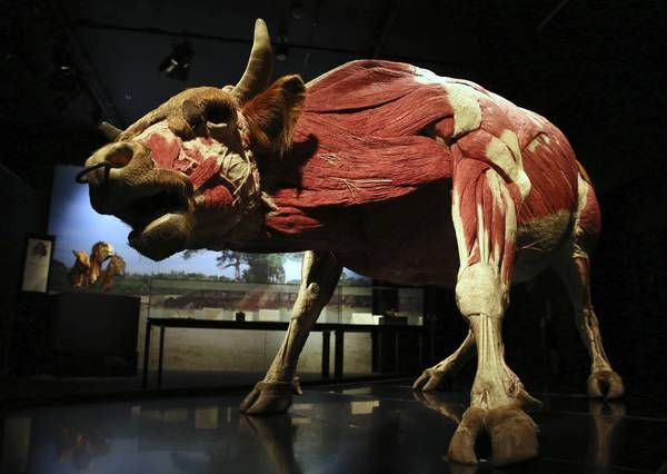 "Bull, on exhibit as part of the ""Animal Inside Out"" exhibit making its debut at Chicago's Museum of Science and Industry."
