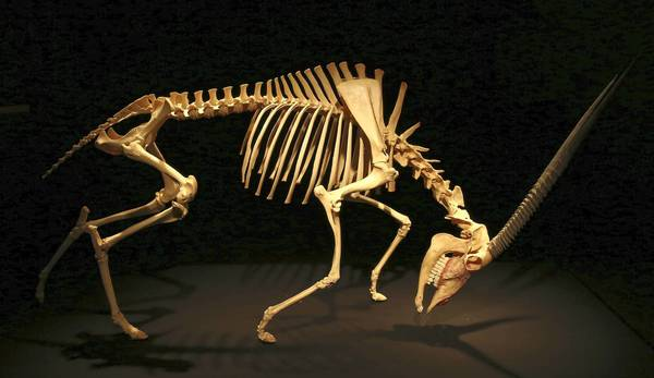 "Oryx skeleton on display, part of the ""Animal Inside Out"" exhibit making its U.S. premiere at Chicago's Museum of Science and Industry."