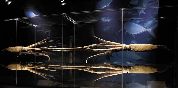 "Two giant squid on display, part of the ""Animal Inside Out"" exhibit making its U.S. premiere at Chicago's Museum of Science and Industry."
