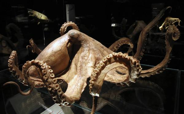 "Octopus on display, part of the ""Animal Inside Out"" exhibit making its U.S. premiere at Chicago's Museum of Science and Industry."