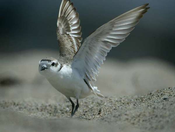 An endangered snowy plover at Silver Strand Beach in Oxnard.