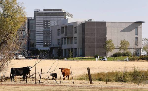 Cattle graze on farmland surrounding UC Merced. University officials want to change the school's construction plan.