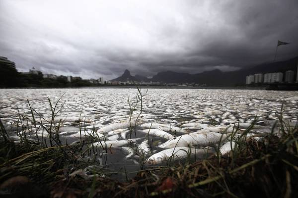 Dead fish are seen at the Rodrigo de Freitas lagoon in Rio de Janeiro. About 65 tons of fish have been removed from the lagoon after oxygen levels dropped due to pollution, according to local media. Rodrigo de Freitas lagoon will host the rowing competitions in the 2016 Olympic Games.